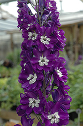King Arthur Larkspur (Delphinium 'King Arthur') at Squak Mountain Nursery