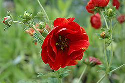 Arc En Ciel Cinquefoil (Potentilla 'Arc En Ciel') at Squak Mountain Nursery