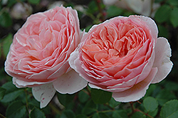 Abraham Darby Rose (Rosa 'Abraham Darby') at Squak Mountain Nursery