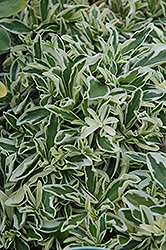 Variegated Wall Cress (Arabis caucasica 'Variegata') at Squak Mountain Nursery
