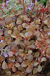 Bronze Carpet Stonecrop (Sedum spurium 'Bronze Carpet') at Squak Mountain Nursery
