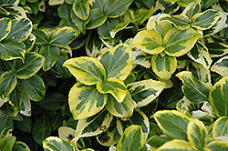 Gold Prince Wintercreeper (Euonymus fortunei 'Gold Prince') at Squak Mountain Nursery