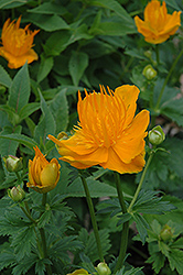 Golden Queen Globeflower (Trollius chinensis 'Golden Queen') at Squak Mountain Nursery