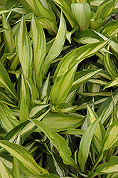 Cherry Berry Hosta (Hosta 'Cherry Berry') at Squak Mountain Nursery