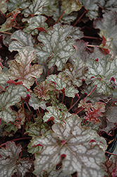 Can Can Coral Bells (Heuchera 'Can Can') at Squak Mountain Nursery