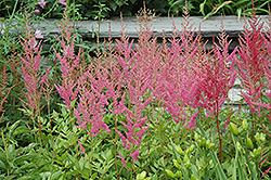 Visions in Pink Chinese Astilbe (Astilbe chinensis 'Visions in Pink') at Squak Mountain Nursery