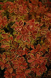 Admiration Japanese Barberry (Berberis thunbergii 'Admiration') at Squak Mountain Nursery