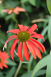 Tomato Soup Coneflower (Echinacea 'Tomato Soup') at Squak Mountain Nursery