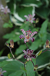 Empress Toad Lily (Tricyrtis 'Empress') at Squak Mountain Nursery