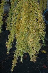 Varied Directions Larch (Larix decidua 'Varied Directions') at Squak Mountain Nursery