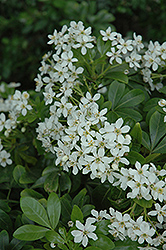 Mexican Mock Orange (Choisya ternata) at Squak Mountain Nursery