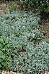 Cotton Lavender (Santolina chamaecyparissus) at Squak Mountain Nursery
