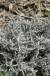 Silver Frost Lavender (Lavandula 'Silver Frost') at Squak Mountain Nursery