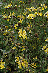 Jerusalem Sage (Phlomis fruticosa) at Squak Mountain Nursery