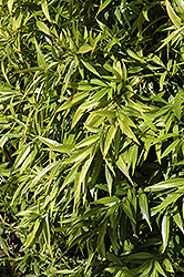 Himalayan Sweet Box (Sarcococca hookeriana) at Squak Mountain Nursery