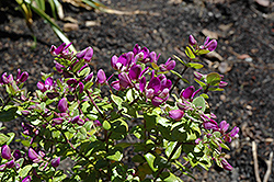 Petite Butterfly Sweet Pea Shrub (Polygala fruticosa 'Petite Butterfly') at Squak Mountain Nursery