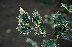Silver Hedgehog Holly (Ilex aquifolium 'Ferox Argentea') at Squak Mountain Nursery