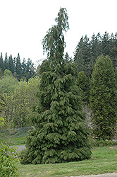 Lawson Falsecypress (Chamaecyparis lawsoniana) at Squak Mountain Nursery