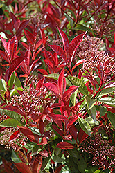 Fraser Photinia (Photinia x fraseri) at Squak Mountain Nursery