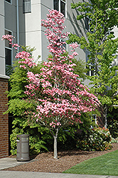Cherokee Brave Flowering Dogwood (Cornus florida 'Cherokee Brave') at Squak Mountain Nursery