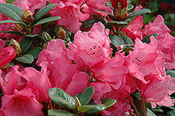 Molly Ann Rhododendron (Rhododendron 'Molly Ann') at Squak Mountain Nursery