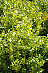 Dwarf English Boxwood (Buxus sempervirens 'Suffruticosa') at Squak Mountain Nursery