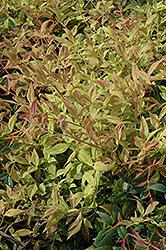 Gulf Stream Dwarf Nandina (Nandina domestica 'Gulf Stream') at Squak Mountain Nursery