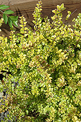Baggesen's Gold Box Honeysuckle (Lonicera nitida 'Baggesen's Gold') at Squak Mountain Nursery