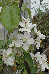 Gala Apple (Malus 'Gala') at Squak Mountain Nursery