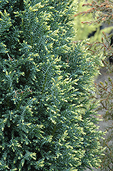 Snow White Falsecypress (Chamaecyparis lawsoniana 'Snow White') at Squak Mountain Nursery