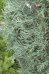 Blue Italian Cypress (Cupressus sempervirens 'Glauca') at Squak Mountain Nursery