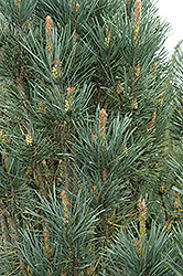 Scotch Sentinel Pine (Pinus sylvestris 'Fastigiata') at Squak Mountain Nursery
