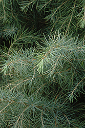 Deodar Cedar (Cedrus deodara) at Squak Mountain Nursery