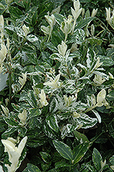 Harlequin Wintercreeper (Euonymus fortunei 'Harlequin') at Squak Mountain Nursery