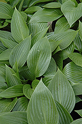 Devon Green Hosta (Hosta 'Devon Green') at Squak Mountain Nursery