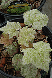 Mystic Mist Foamflower (Tiarella 'Mystic Mist') at Squak Mountain Nursery