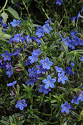 Grace Ward Lithodora (Lithodora 'Grace Ward') at Squak Mountain Nursery