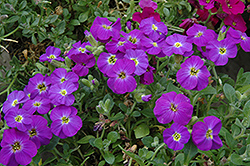 Axcent™ Violet With Eye Rock Cress (Aubrieta 'Axcent Violet With Eye') at Squak Mountain Nursery