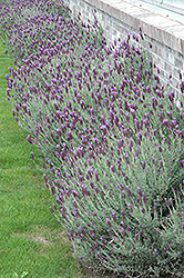 Otto Quast Spanish Lavender (Lavandula stoechas 'Otto Quast') at Squak Mountain Nursery