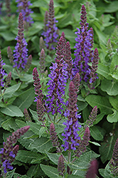 Sensation Deep Blue Sage (Salvia nemorosa 'Sensation Deep Blue') at Squak Mountain Nursery