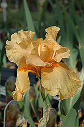Tanzanian Tangerine Iris (Iris 'Tanzanian Tangerine') at Squak Mountain Nursery