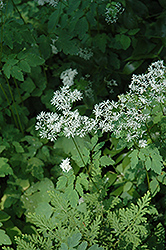 Meadow Rue (Thalictrum filamentosum) at Squak Mountain Nursery