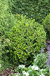 Winter Gem Boxwood (Buxus microphylla 'Winter Gem') at Squak Mountain Nursery