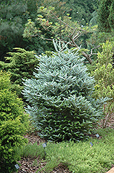 Silver Korean Fir (Abies koreana 'Silberlocke') at Squak Mountain Nursery