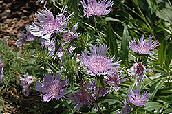 Blue Danube Aster (Stokesia laevis 'Blue Danube') at Squak Mountain Nursery