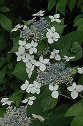 Lanarth White Hydrangea (Hydrangea macrophylla 'Lanarth White') at Squak Mountain Nursery