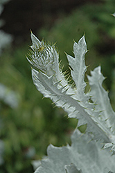 Cardoon (Cynara cardunculus) at Squak Mountain Nursery