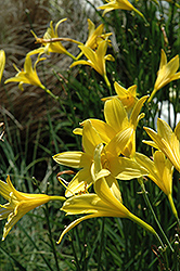 Lemon Daylily (Hemerocallis lilioasphodelus) at Squak Mountain Nursery