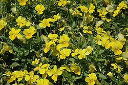 Endurio Pure Yellow Pansy (Viola cornuta 'Endurio Pure Yellow') at Squak Mountain Nursery