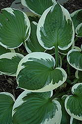 Minuteman Hosta (Hosta 'Minuteman') at Squak Mountain Nursery